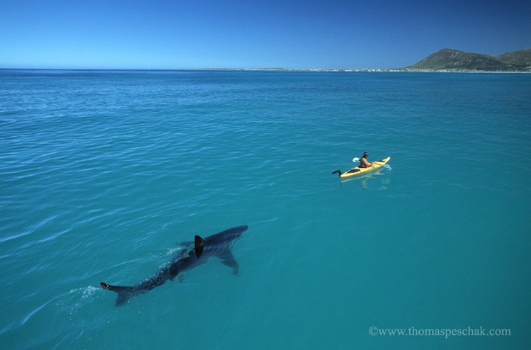 White Shark and Kayak